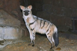 Aardwolf. Photo by Greg Hume. http://en.wikipedia.org/wiki/File:Aardwolf25.JPG